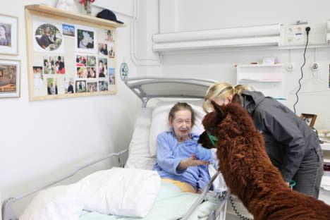 羊駝到醫院探病1.jpg