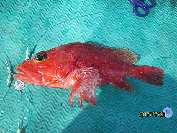 虎魚頭(紅喉)