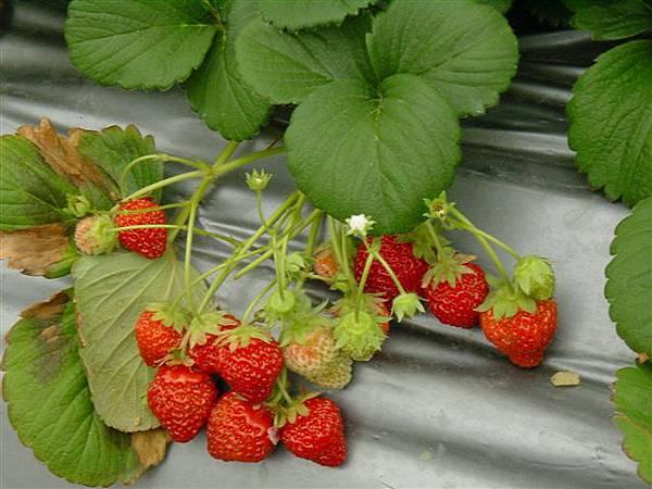 草莓03.JPG