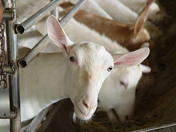 乳羊品種介紹
