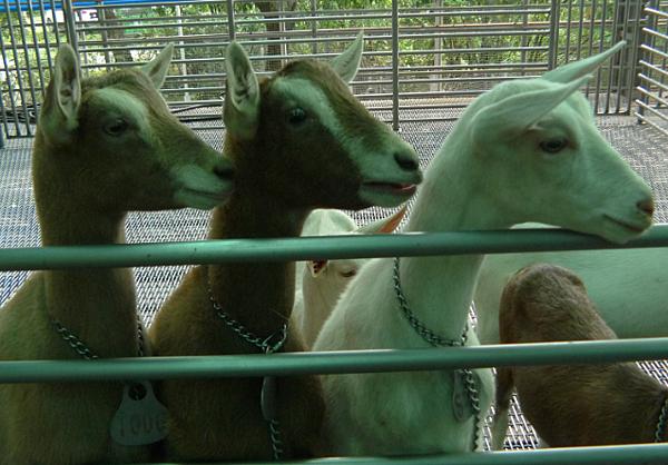 嘉南羊乳牧場7.png