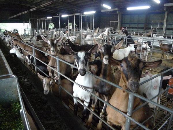 嘉南羊乳牧場1.jpg