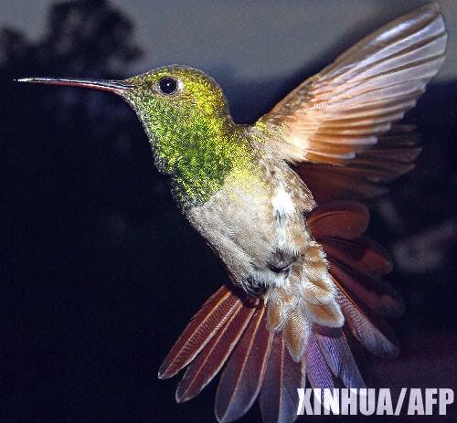 蜂鳥1--網路圖片