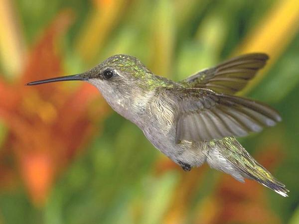 蜂鳥2--網路圖片