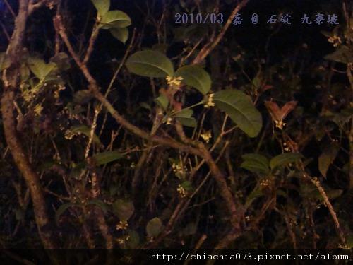 DSC06542- 石碇九寮坡 桂花老樹2.jpg