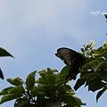 abm201407拉拉山蝴蝶12.jpg