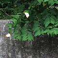 abm201407拉拉山蝴蝶25.jpg
