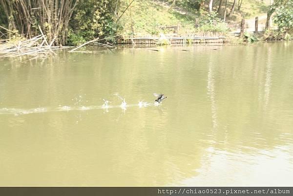 2011_0228_黑天鵝.JPG