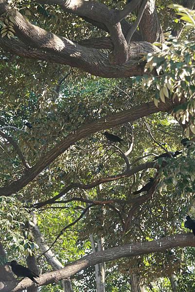 2010_0119_114123(一整樹的烏鴉).jpg