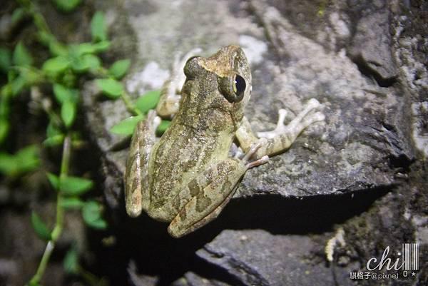 IMG_4653(褐樹蛙).jpg