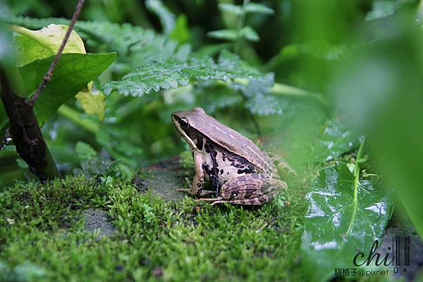 IMG_5039(腹斑蛙).jpg