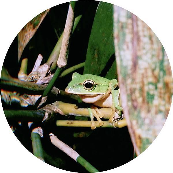 IMG20190105173735(翡翠樹蛙).001.jpeg