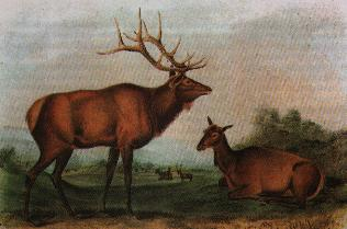 Audobon-eastern-elk.jpg