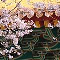 淡水天元宮櫻滿開2012 (4)