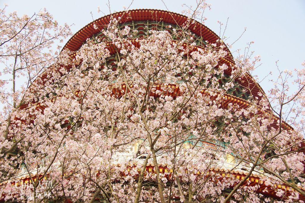 淡水天元宮櫻滿開2012 (30)