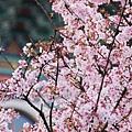 淡水天元宮櫻滿開2012 (36)