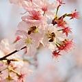 淡水天元宮-櫻與蜂 (1)