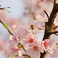 淡水天元宮-櫻與蜂 (2)