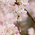 淡水天元宮-櫻與蜂 (3)