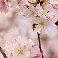 淡水天元宮-櫻與蜂 (4)