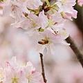 淡水天元宮-櫻與蜂 (5)