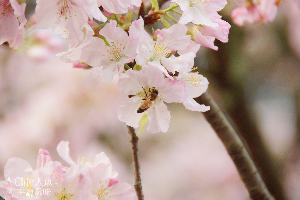 淡水天元宮-櫻與蜂 (6)