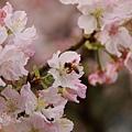 淡水天元宮-櫻與蜂 (7)