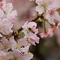 淡水天元宮-櫻與蜂 (8)
