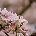 淡水天元宮-櫻與蜂 (9)