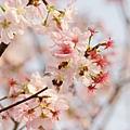 淡水天元宮-櫻與蜂 (10)
