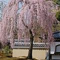京都-高台寺花見 (3)
