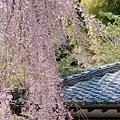 京都-高台寺花見 (4)