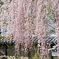 京都-高台寺花見 (5)