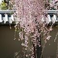 京都-高台寺花見 (7)