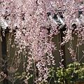 京都-高台寺花見 (6)