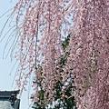 京都-高台寺花見 (8)