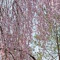 京都-高台寺花見 (9)