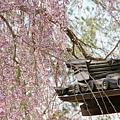 京都-高台寺花見 (10)