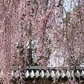 京都-高台寺花見 (12)
