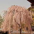 京都-高台寺花見 (31)