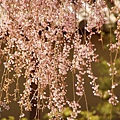 京都-高台寺花見 (33)