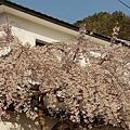 京都哲學之道 (7)