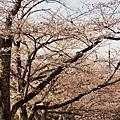 京都哲學之道 (37)