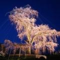 京都圓山公園一本枝垂櫻-夜櫻 (1)