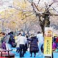 京都圓山公園一本枝垂櫻-夜櫻 (3)