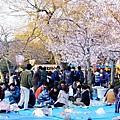 京都圓山公園一本枝垂櫻-夜櫻 (4)