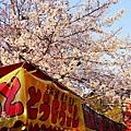 京都圓山公園一本枝垂櫻-夜櫻 (5)