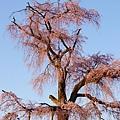 京都圓山公園一本枝垂櫻-夜櫻 (6)