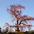 京都圓山公園一本枝垂櫻-夜櫻 (7)