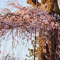 京都圓山公園一本枝垂櫻-夜櫻 (8)
